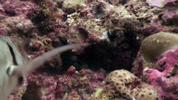 Diver feeds moray eel with fish food underwater on seabed in Maldives Footage