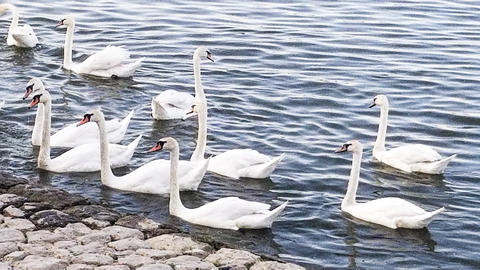 Beautiful White Swans on the Danube River フォト