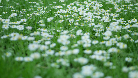 Dandelions in spring garden ภาพวิดีโอ