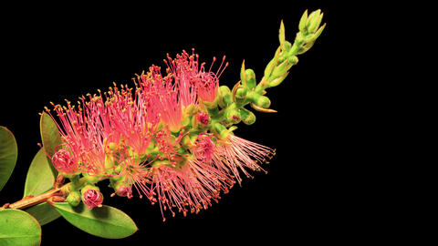 Time Lapse of a Bottlebrush Flower Opening Footage