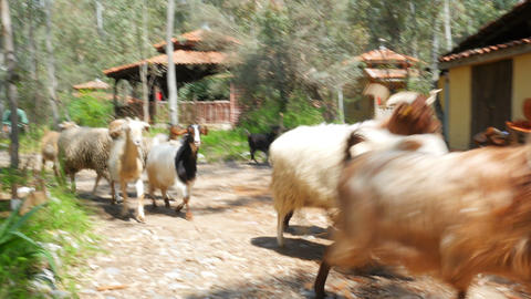FETHIYE, TURKEY- MAY 2015: Local sheepherd and sheeps Footage