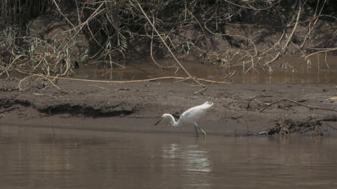 White Ibis Fishing in a Costa Rican River Footage