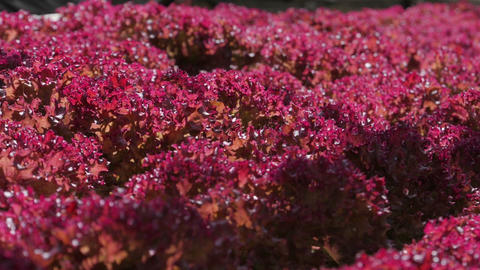 Hydroponic red oak leaf lettuce in vegetable farm GIF