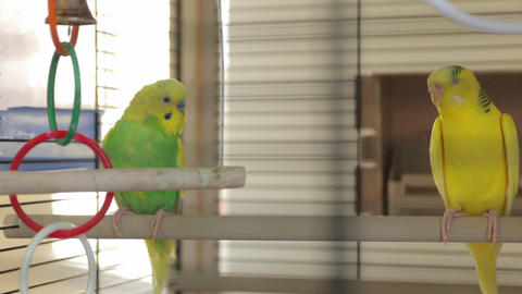 The Yellow Green Parrots GIF