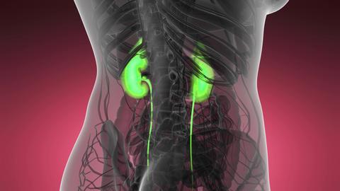 Science Anatomy Scan Of Human Kidneys Glowing Archivo
