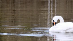 Graceful white swan swims on surface of pond Footage