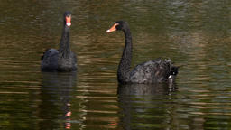 A flock of black swan swims on surface of pond Filmmaterial