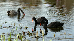 A flock of black swan swims on surface of pond Footage