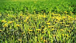 Field of yellow dandelion flowers in summer, spring, wind blowing Footage
