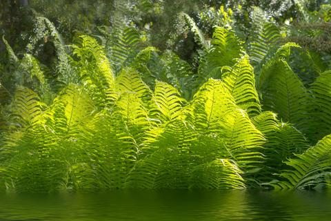 Beautiful ferns with green foliage green flower fern background in sunlight Photo