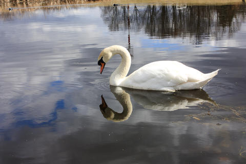 white swan on the lake, looks at his reflection in the water Photo