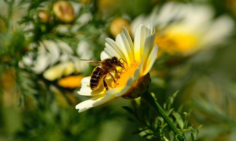 Wild daisy and bee フォト