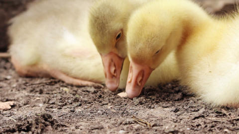Fluffy Goslings in a Backyard. Adorable Baby Animals Archivo