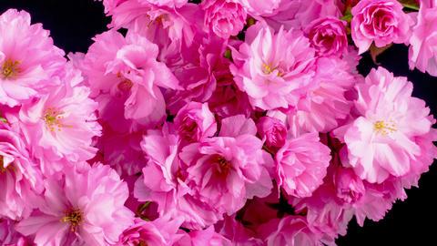 Pink Sakura Tree Flowers ภาพวิดีโอ
