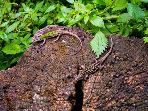 lizard on a tree trunk sunbathing Rome フォト