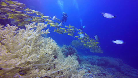Underwater videographer, filming a flock of colorful fish snappers Live Action