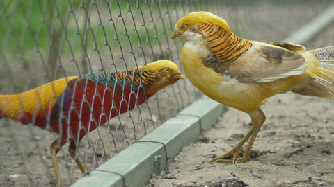 Golden Chinesse Pheasant stock footage