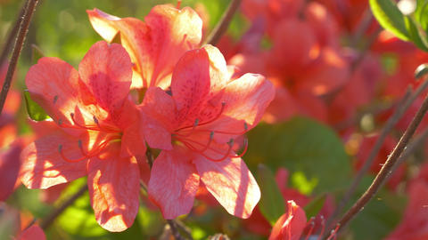 Flower Rhododendron Spring 4K Live Action