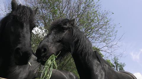 Black Friesian horse portrait close up. Black horse head.... Stock Video Footage