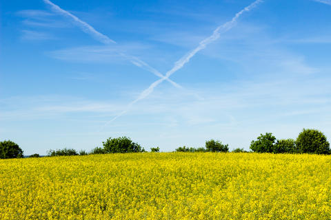 Contrails and rapeseed field フォト