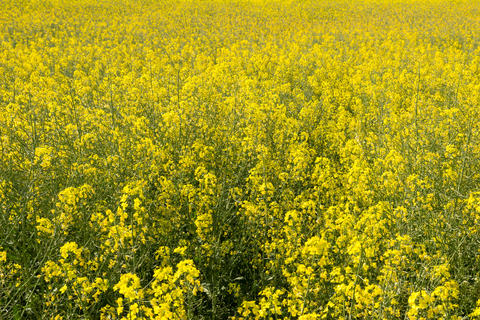 Rapeseed field close-up フォト