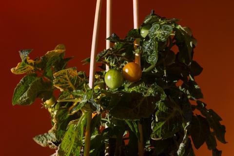 Tomato plant on orange background Fotografía