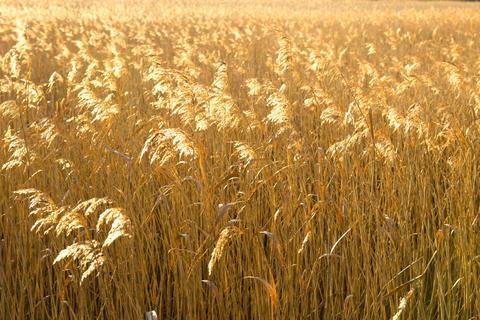 Golden glowing reeds Fotografía