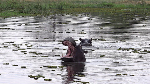 Hippopotamus, hippopotamus amphibius, Adult with Mouth wide open, Threat display, Chobe River, Live Action