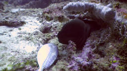 Black Moray eel eats fish food underwater on seabed in Maldives 영상물