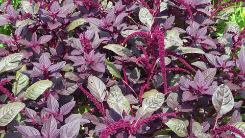 Amaranthus plants growing in soil. Edible plant Live Action