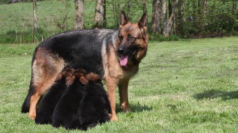 Domestic Dog, German Shepherd Dog, Female standing on... Stock Video Footage