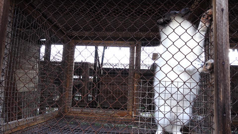 White foxes in cages Footage
