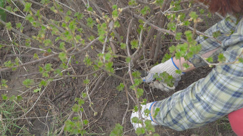 Pruning currants with secateurs Footage