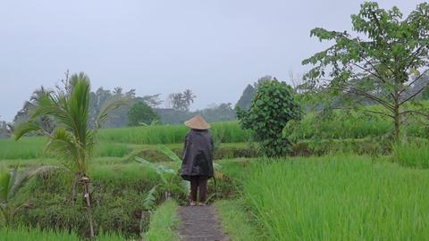 Peasant Walks Between Rice Fields. Slow Motion Footage