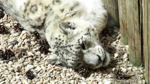 Irbis (Panthera uncia). Wildlife animal Footage