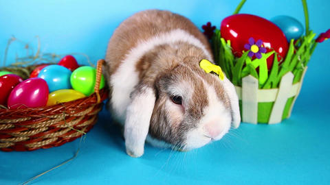 Easter rabbit pet lop bunny on blue screen Footage
