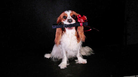 Pet animal dog holding gift box Live Action