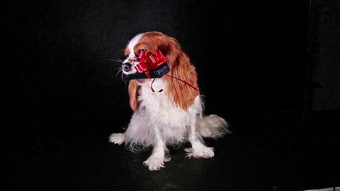 Pet animal dog holding gift box, Live Action