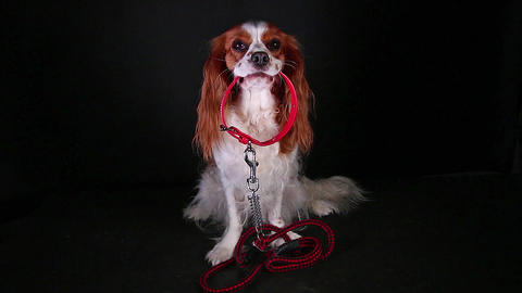 Dog holding walking leash collar on black screen. Walkies Live Action