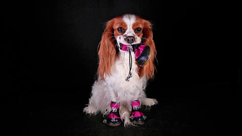 Dog wearing winter shoes. Puppy with shoe Live Action