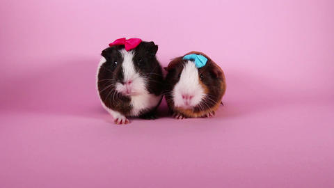 Guinea pigs on pink screen background. Cute cavys. Pig in pink Footage