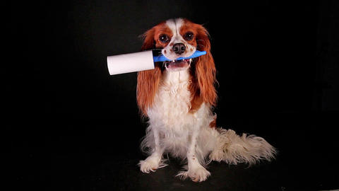Dog with lint roller to avoid fur shedding Live Action