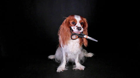 Dog holding cosmetic scissors on black screen Live Action