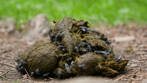 Close-up of flies on horse dung Live Action