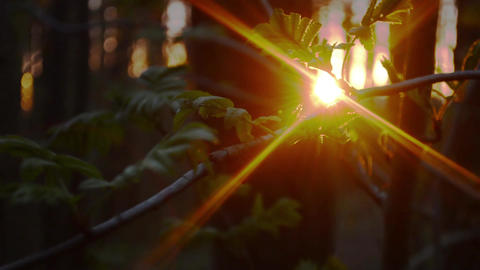 Sunset through the young foliage of Rowan Footage