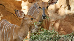 Nyala antelope eating grass Footage