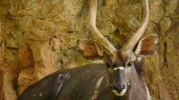 Nyala antelope Footage