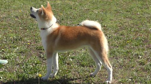 Dog breed Akita inu Footage