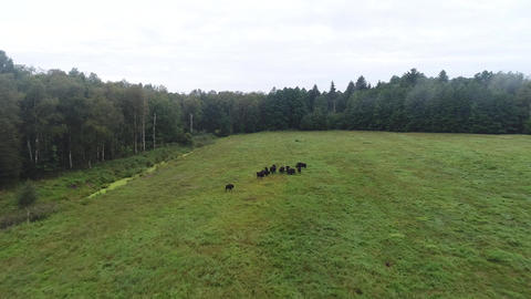 2 flying over a herd of bison Footage
