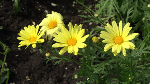 Yellow daisies blowing in wind Footage
